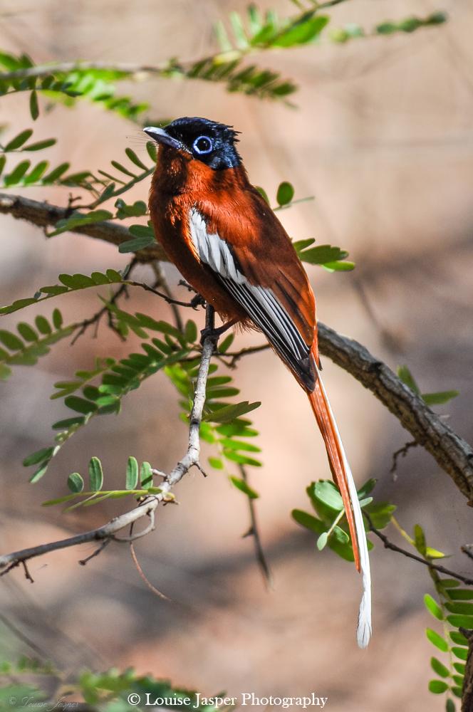 Madagascar_Iharana Bush Camp_Wildlife_pardise flycatcher_gobe mouche de paradis_bird_oiseau