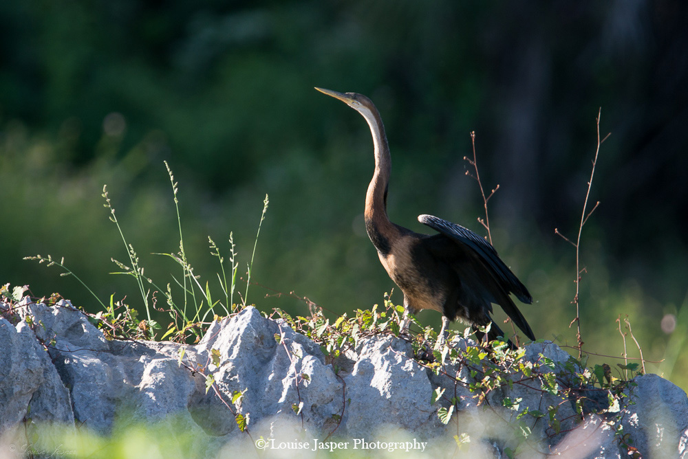 Madagascar_Iharana Bush Camp_Wildlife_purple_heron_ pourpre_bird_oiseau