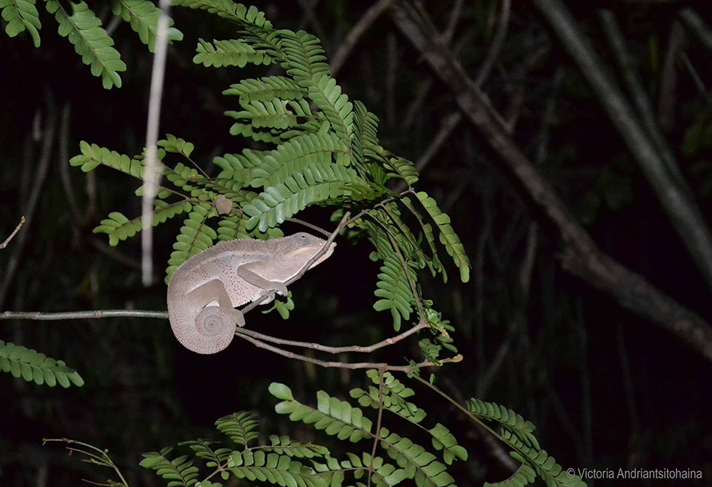 caméléon_visite nocturne_iharana-bush-camp_tsingy_ankarana_madagascar