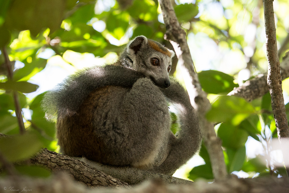 Iharana Bush Camp_Wildlife-lemur_couronné_ankarana_nord_madagascar
