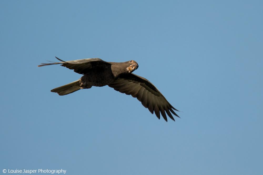 grand perroquet vasa _Coracopsis vasa_oiseau_tsingy_ankarana_nord_madagascar