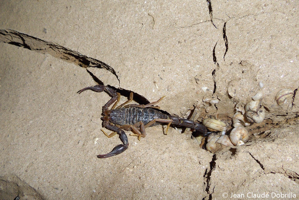 scorpion_insecte_faune_tsingy_ankarana_nord_madagascar